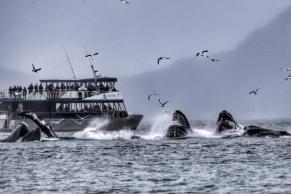 whales bubble feeding
