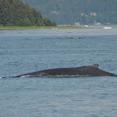 Humpback Whale in Juneau