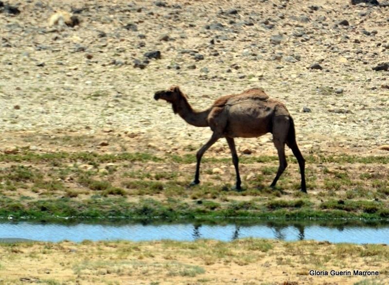 Camel in Salalah, Oman - Amsterdam