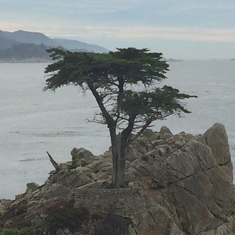 The lone cypress on the 17 mile drive