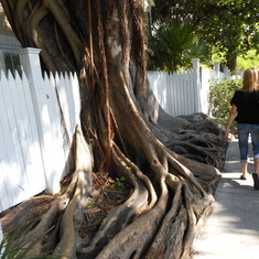 Cool looking tree - Key West