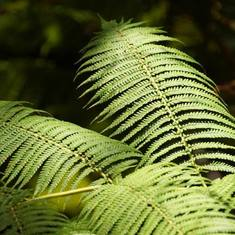 Hilo, Hawaii - Fern Big Island