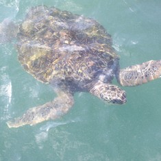 Turtles in Grand Cayman