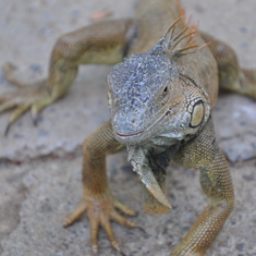 Mahogany Bay, Roatan, Bay Islands, Honduras - Lizard Zoo, Roatan