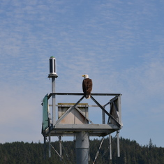 Bald Eagle in Juneau