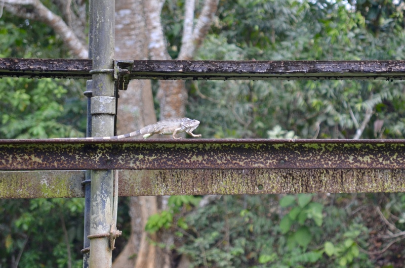 Day of the Iguana... crossing a foot bridge