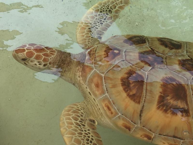 Turtle Farm turtle - MSC Divina