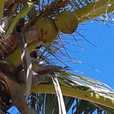 Coconuts in the trees at Grand  Turk.