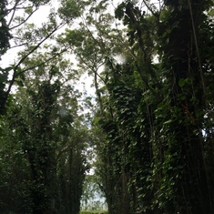 Nawiliwili, Kauai - Eucalyptus Tree Tunnel in Kaui