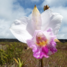 Hilo, Hawaii - Wild orchids in Craters National Park