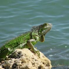 Iguana in Miami