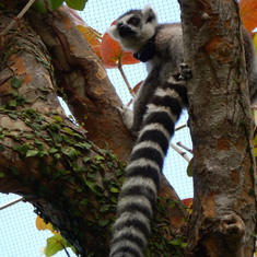 Lemur. Don't do the Zoo as an Excursion. Easy to find on your own. Take BusFerry