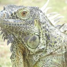 George Town, Grand Cayman - An iguana at Dolphin Cove