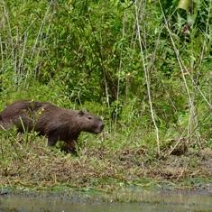 Wandering capybara