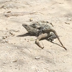 Cozumel, Mexico - mating season in the ruins