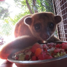 Lola - Rescued Lemur at Maya Key Private Island