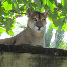 Coxen Hole, Roatan, Bay Islands, Honduras - Rescued Cougar at Maya Key Private Island
