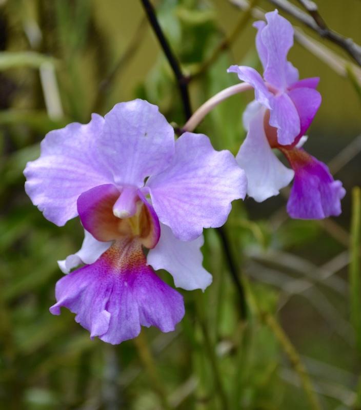 Lovely flowers all over the island. (W. Samoa)