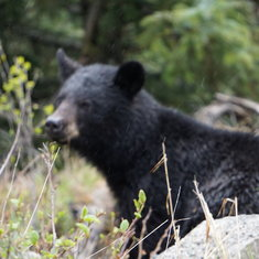 Black Bear along the Klondike Highway out of Skagway with Dyea Dave Tours