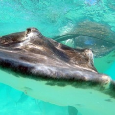 Stingray City in Cayman
