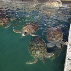 Turtle farm in Grand Cayman.