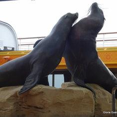 Sea Lions - Lido Pool