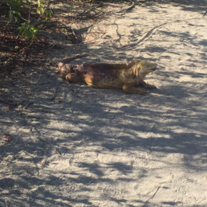 Iguana in our path.