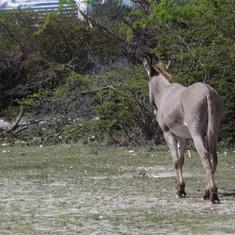 Grand Turk Island - Wild Donkey--Grand Turk
