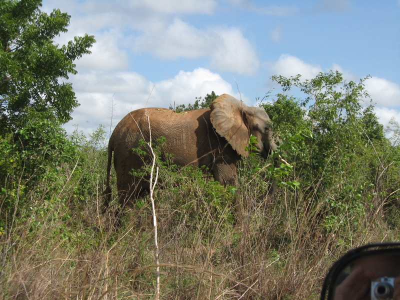 Kenya---Elephants and more elephants--everywhere. - Prinsendam