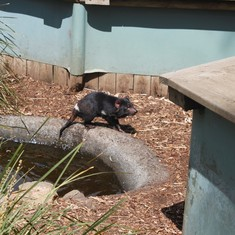 Tasmanian Devil at Bonorong