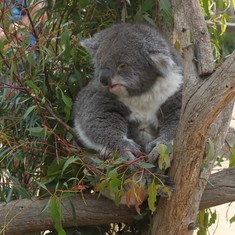 Koala at Bonorong
