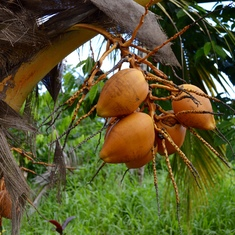 Apia, Samoa - Fruit pods (W.Samoa)