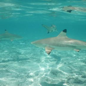 Shark snorkel