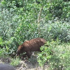 Young Bear in Yukon pass area