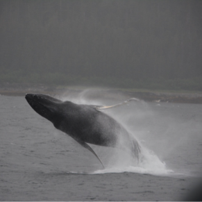 Whale watching out of Juneau