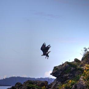 Eagle over Sitka Sound