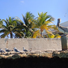 Cozumel, Mexico - Mr.Pelican and gulls
