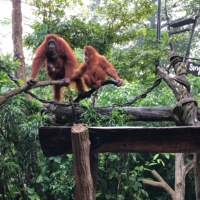Singapore Zoo - morning excursion before catching the Jewel!