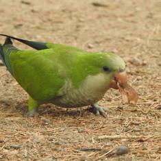 Montevideo, Uruguay - wild parrots - punta del este and montevideo