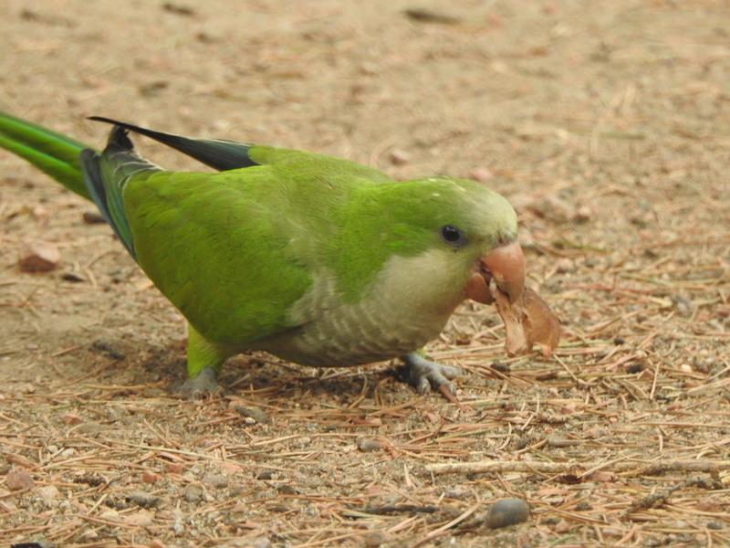 wild parrots - punta del este and montevideo