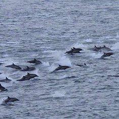 Dolphins near the ship