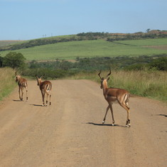 One of the many Antelope subspecies, east South Africa