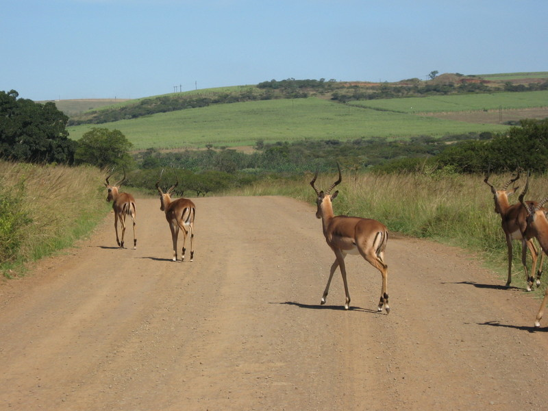 One of the many Antelope subspecies, east South Africa  - Prinsendam