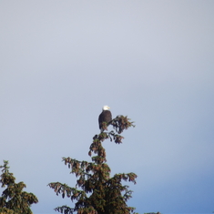 A bald eagle sitting in a tree in Juneau.