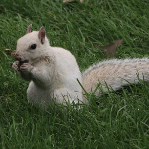 White Squirrel.. supposed to be good luck
