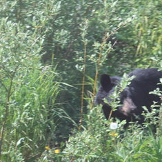 Skagway, Alaska - Bear on the Yukon Trail
