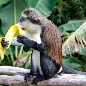 Mona Monkey ,Grenada