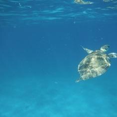 Charlotte Amalie, St. Thomas - Buck Island Turtle