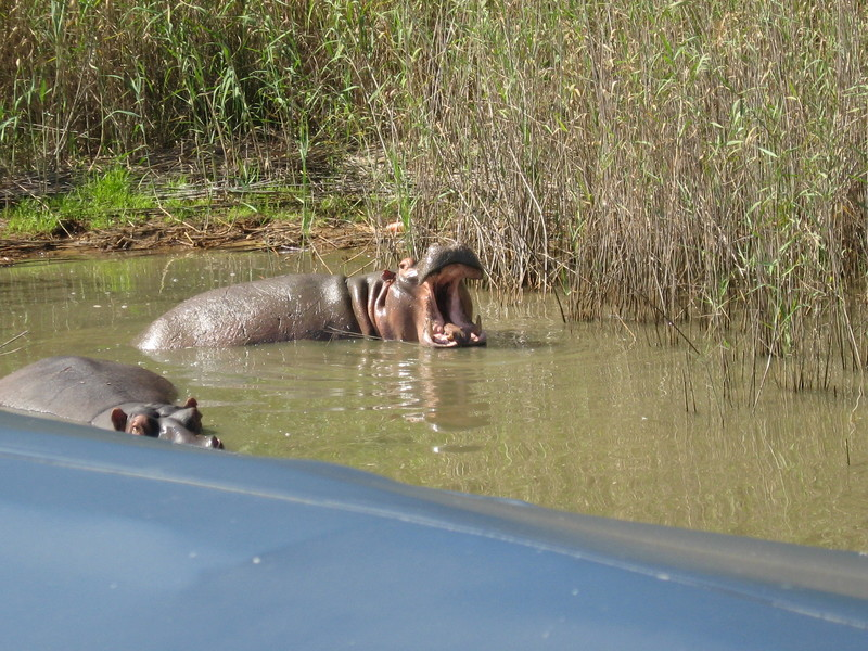 Hippopotamus, number one killer of humans in Africa, after the mosquito  - Prinsendam