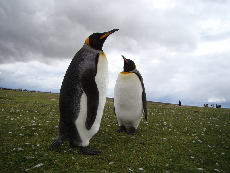 King Penguin - Falkland Islands